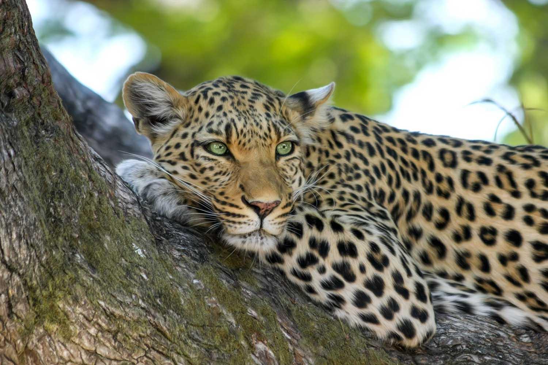 A Leopard Encounter in the Selous - Scott Livengood