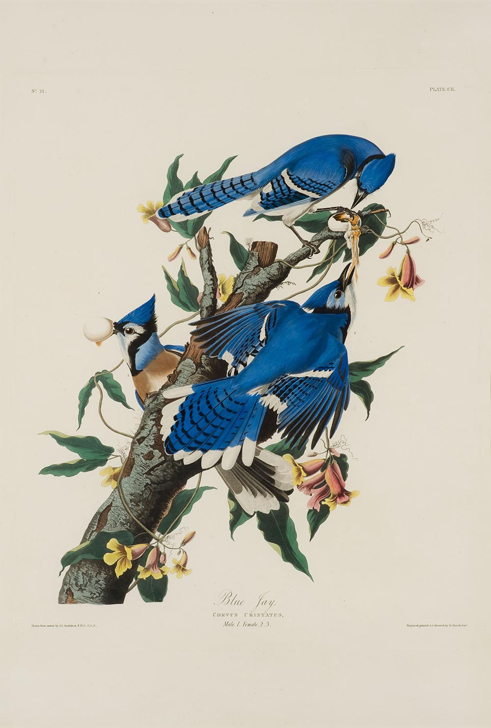 Blue Jay at Reynolda House Museum of American Art - Scott Liveng