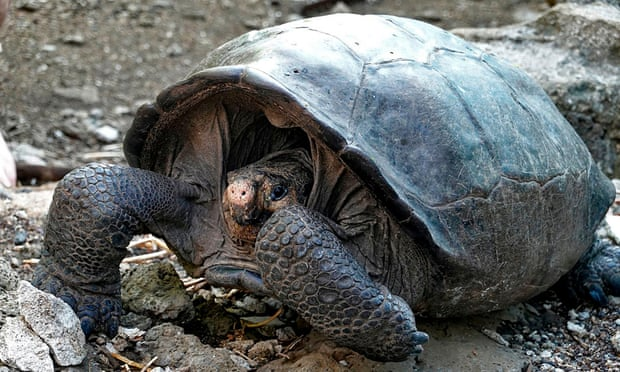 Giant tortoise believed extinct for 100 years found in Galapagos - Scott Livengood
