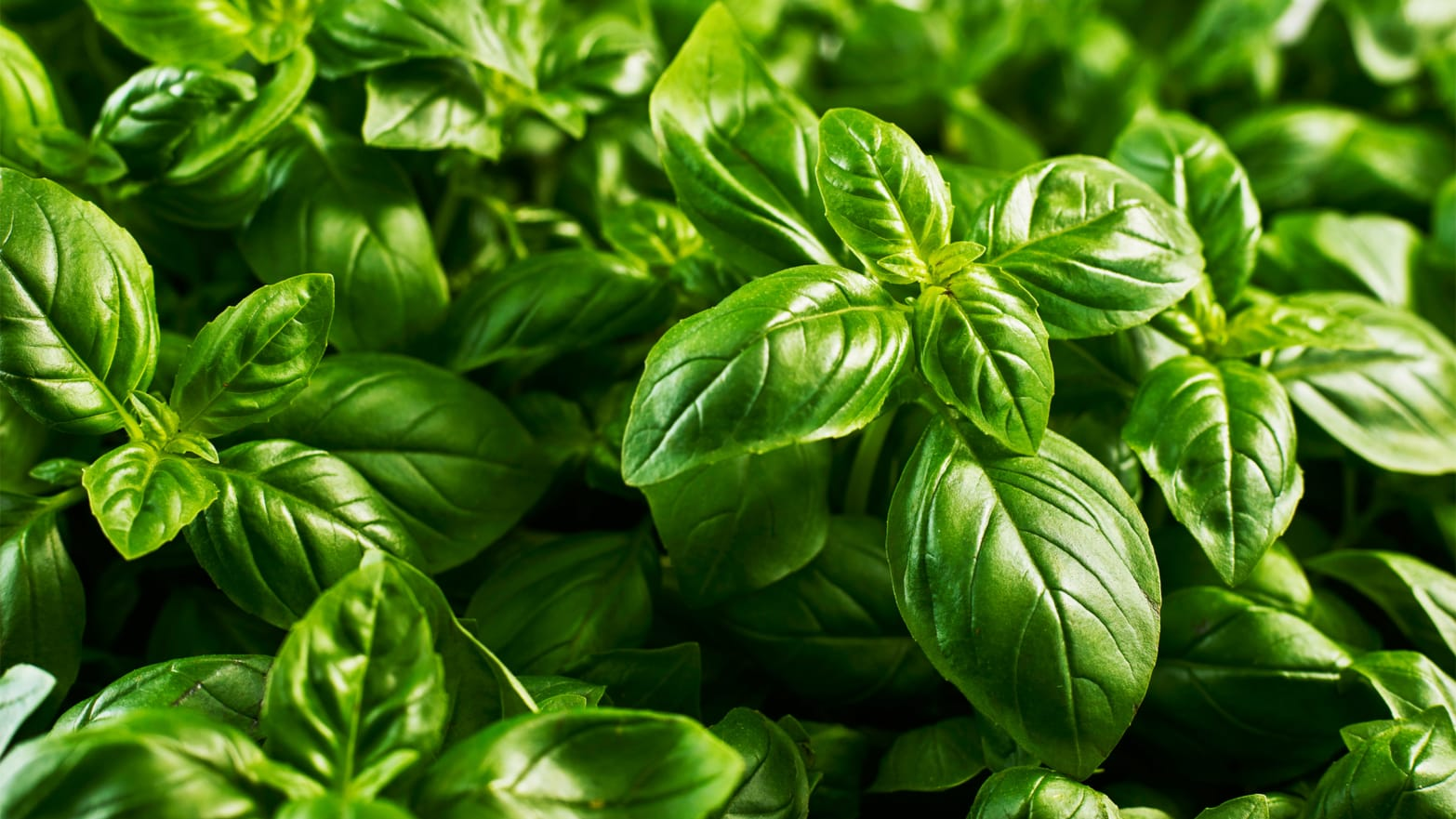 How A.I. Engineered the Most Delicious, Efficient Basil Ever - Scott Livengood